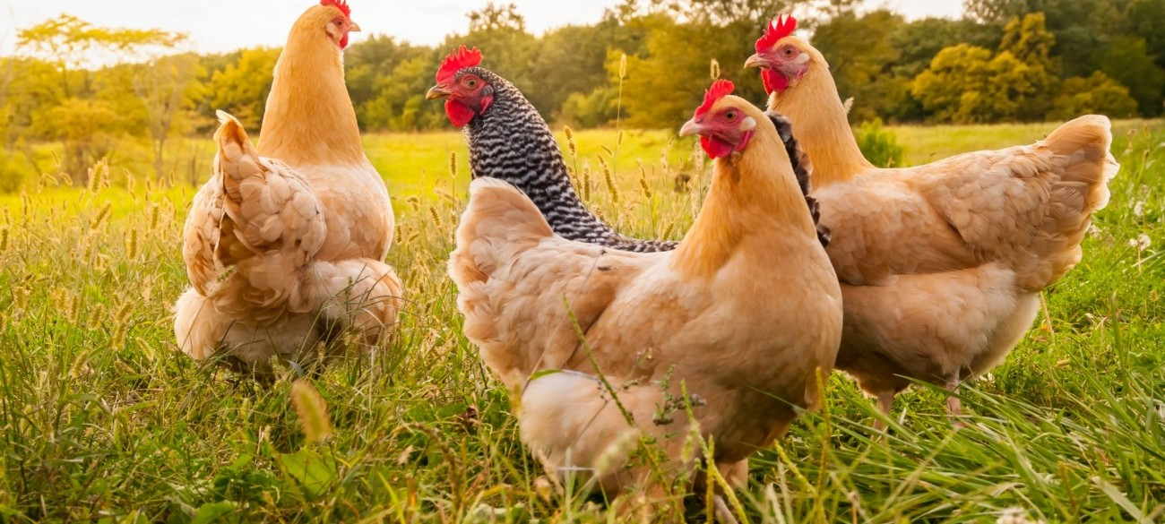 Stock image of free range chickens