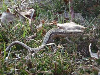 Reptile survey season