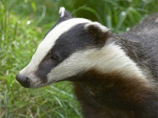 Badger surveys
