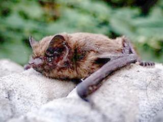 Bat Low Impact Licence